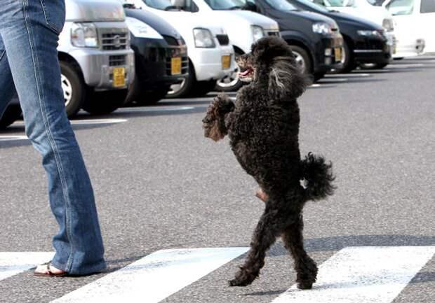 Ты это видел?!) 13 суровых собак, которые ходят на своих двоих…