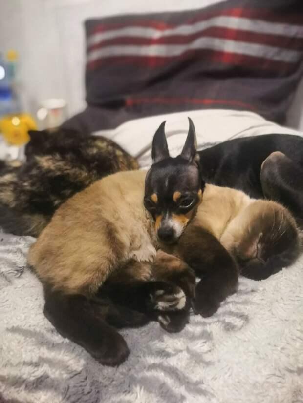 Матерью подобранная кошка оказалась халатной, и выкармливать котят взялась собака. Котята выросли больше ее