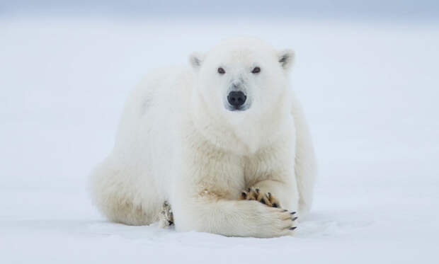 Животные тундры: Белый медведь