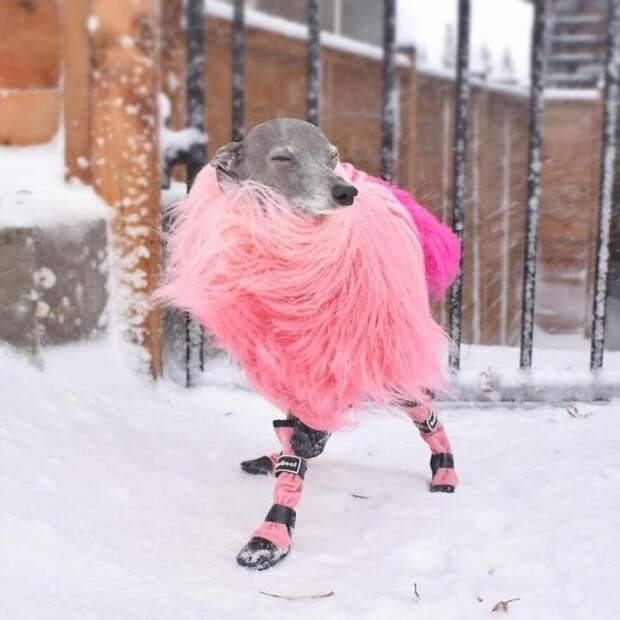 Игги Тика – самая гламурная собачка современности