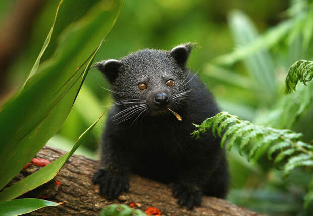 Бинтуронг: необычное сочетание медвежьего облика с кошачьими повадками