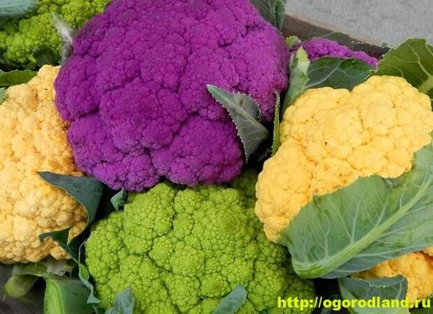 Цветная капуста. Полезные и лечебные свойства