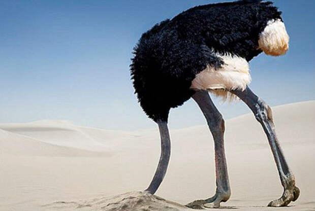 9. Страусы зарывают голову в песок.  заблуждения, люди, миф
