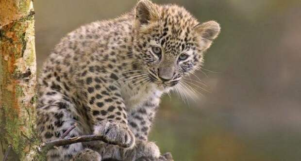 Как на Кавказе восстанавливают популяцию леопардов