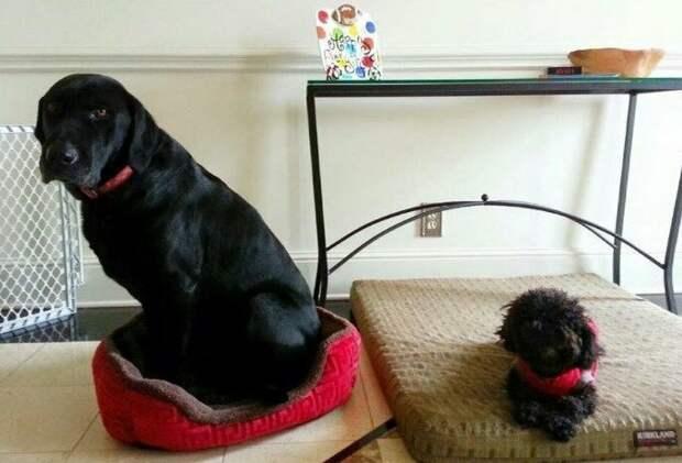 17. Это Люк и Оливер. Они перепутали подарки. И теперь в них застряли. Тут явно какая-то путаница. 12/10 животные, оценка, популярный, собака, собаки, соцсети, твиттер, юмор