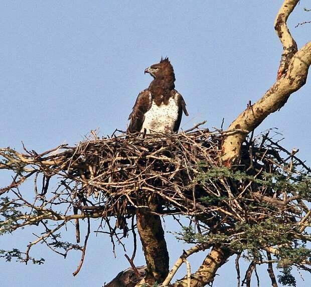Боевой орел на гнезде. Фото Yoky - Own work, CC BY-SA 3.0