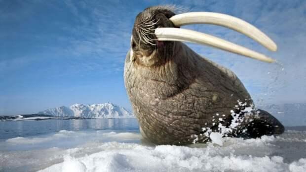 факты о моржах