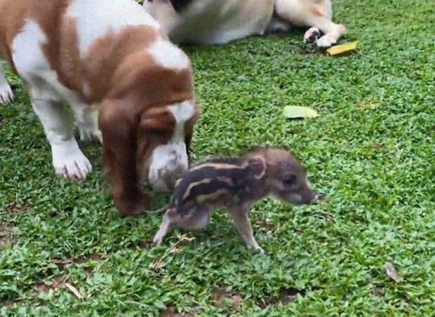 Китаянка нашла в саду новорожденного кабанчика и решила его выходить