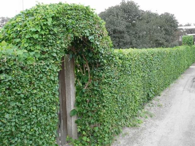 Живая изгородь из девичьего винограда фото