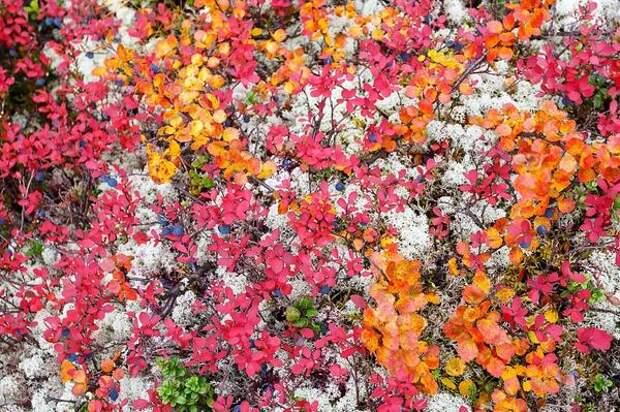 Берёза карликовая, голубика и лишайники. Фото с сайта pozhvanov.com