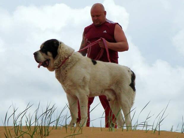 Волкодав Бульдозер - самая большая собака в России