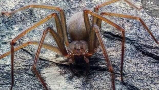 Как выглядит самый опасный паук в мире?