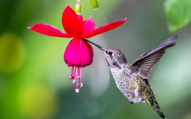 Колибри могут видеть цвета, недоступные человеческому глазу!