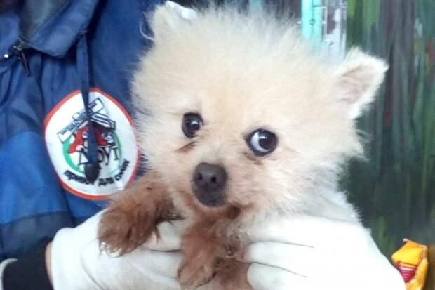Маленький шпиц несколько недель жил на морозе китайская хохлатая, порода, собака, шпиц