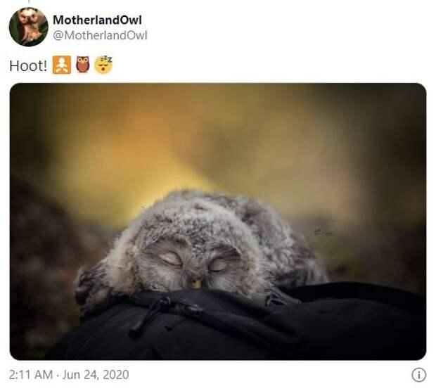 Спят усталые совята: оказывается совы отдыхают мордой вниз