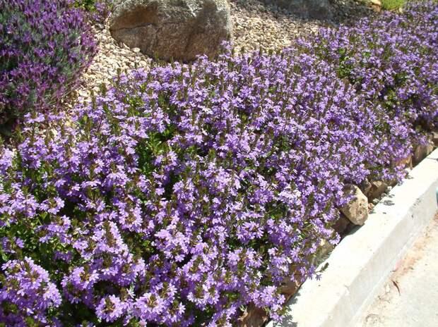 Странный однолетник с цветком-веером: удивляет и украшает сад с мая по сентябрь