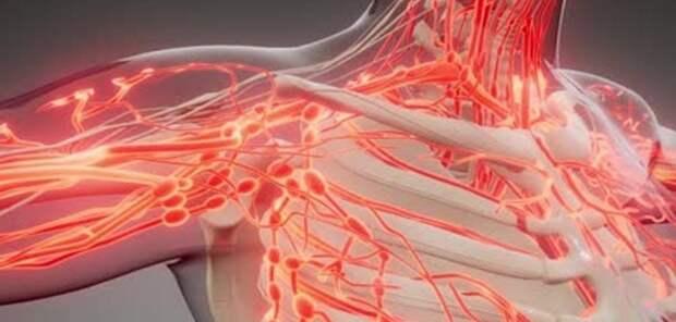 Жир вокруг артерий может сохранить их здоровыми