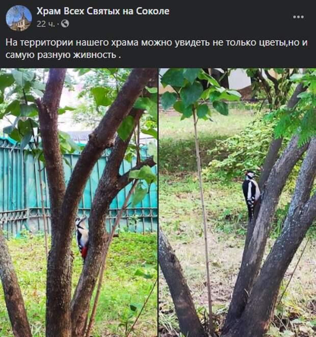Фото дня: дятла застали за работой у храма на Ленинградке