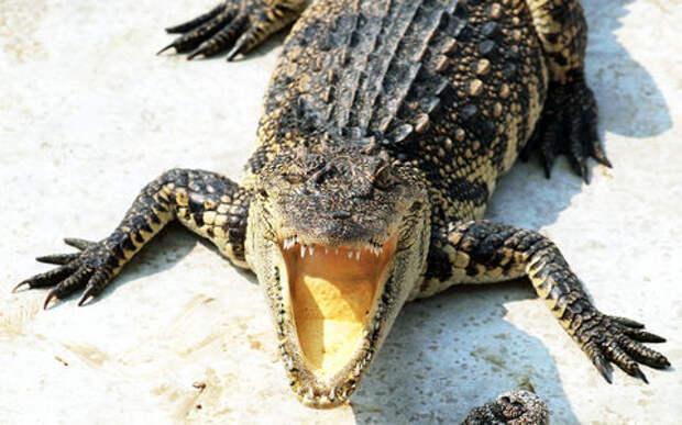 Внезапное нападение: от крокодилов туристов спас только автомобиль