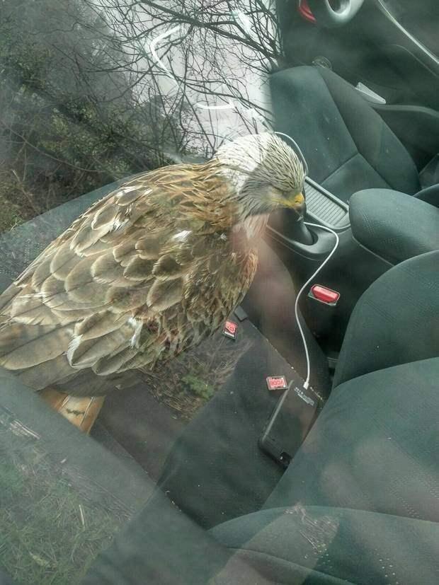 Мужчина взялся за спасение хищной птицы, но быстро пожалел о своем решении