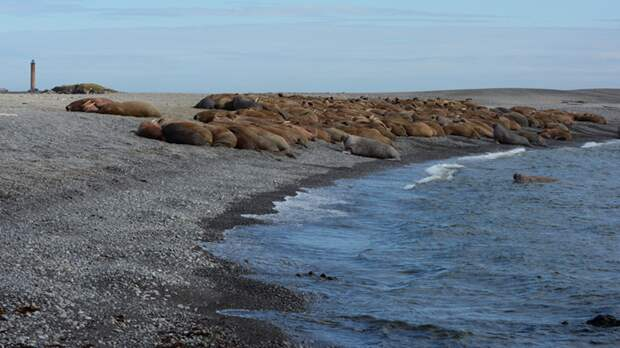 Лежбище атлантических моржей на острове Матвеев – ключевое для животных в регионе. Фото Ивана Мизина.