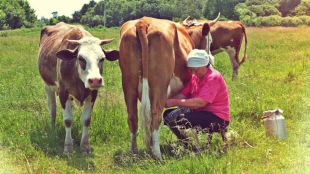 Корову нужно постоянно доить. /Фото: dobryjson.ru.