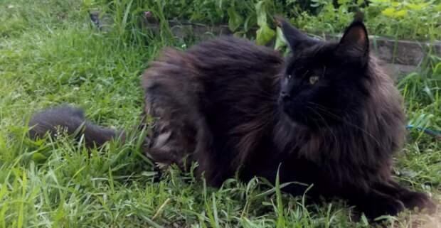 Бабушке отдали старого кота мейн-куна. Но никто не ожидал, что кот сможет помочь старушке излечиться от воспаления легких.
