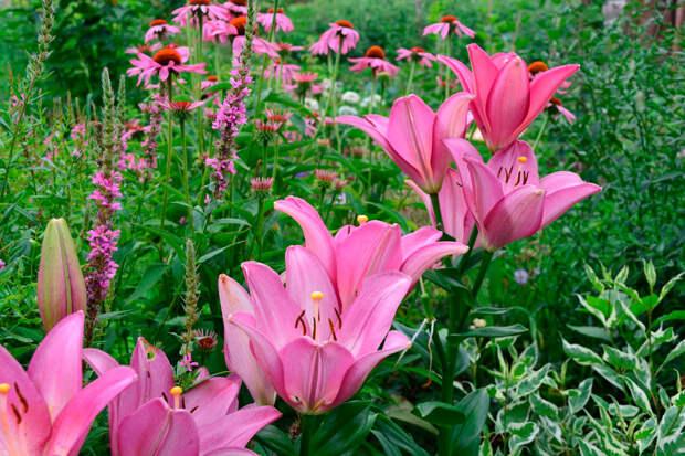 Многолетний садовый цветок Лилия (Lilium)