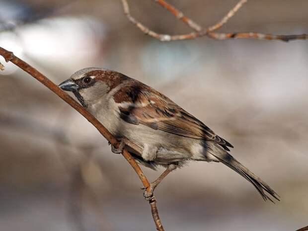 Что с нашими воробушками и другие портреты птиц