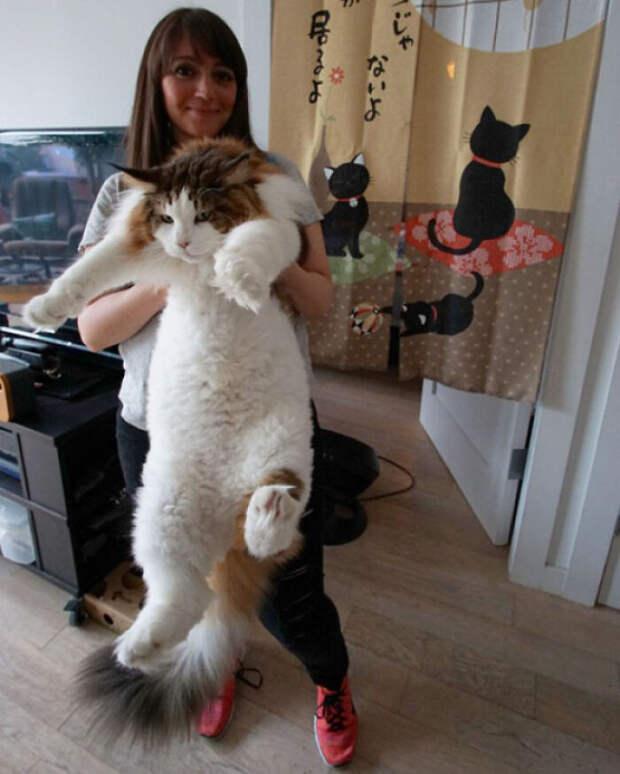 Котики огромных размеров, владельцам которых досталась двойная порция пушистости