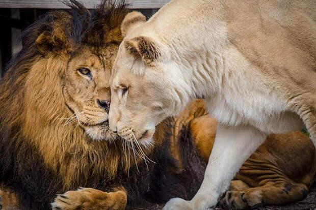 Спасенные от живодера львы нашли свою любовь животные, львы, настоящая любовь, спасение животных