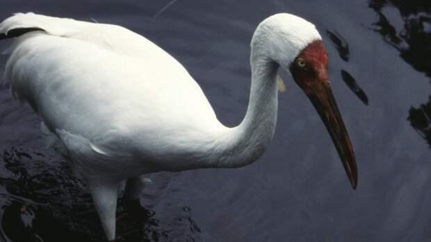 Краснокнижных белых журавлей привезли на Ямал