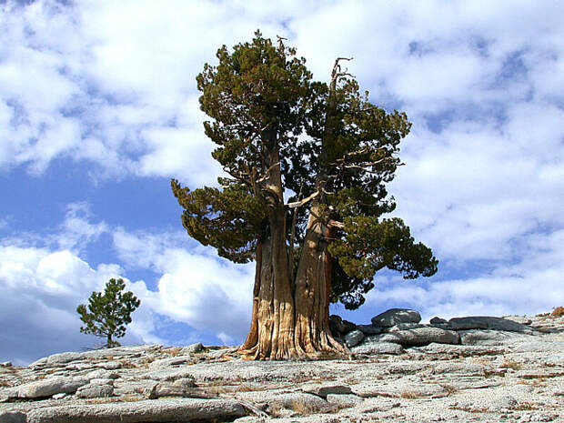 Самые древние деревья в мире