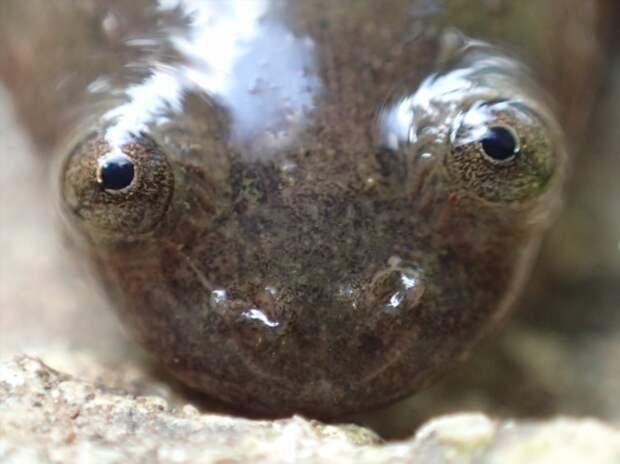 Ксенопус: Голенькая лягушка, геном которой мистическим образом слишком человеческий (11 фото)