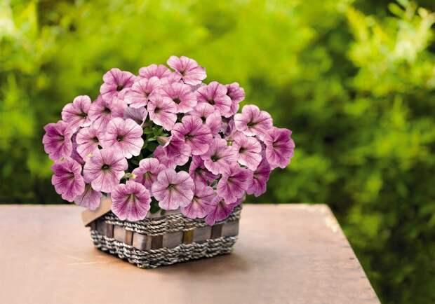 Как вырастить красивую петунию для подвесных горшков?