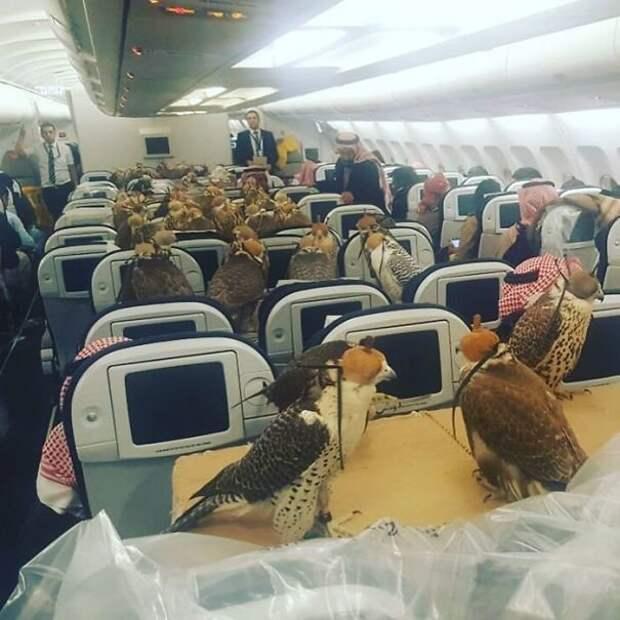 Когда саудовский принц выкупил 80 мест на рейсе для своих ястребов животные, забавно, летайте самолетами, мило, пассажиры, самолет, собаки, хвостатые пассажиры