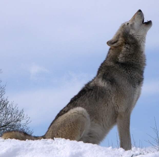 Волк упал в яму, его спас лесник. Через год волк снова позвал мужчину к той самой яме