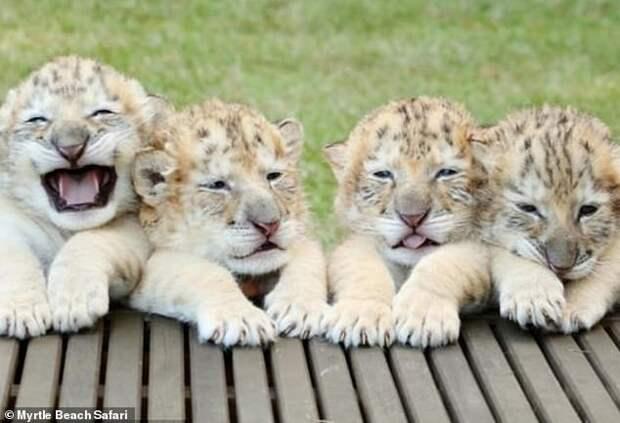 Самый большой белый лигр наконец-то вымахал в полный рост!