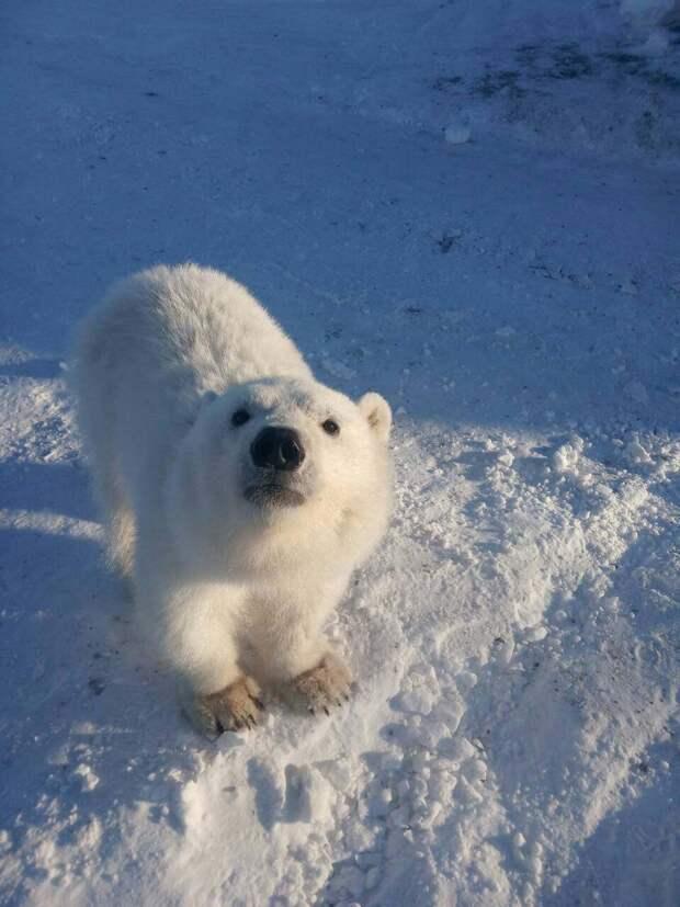 На севере Красноярского края вахтовики спасли белого медвежонка
