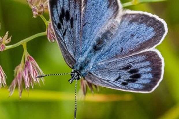 Бабочки передают потомкам приобретенные вкусовые предпочтения