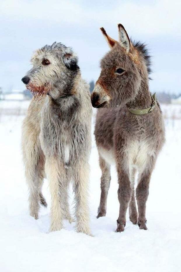 Такой же большой, как ослик домашний питомец, животные, ирландский волкодав, размер, собака