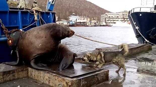 Не тявкай! Собака вывела из себя сивуча видео, животные, нападение, прикол, россия, сивуч, собака