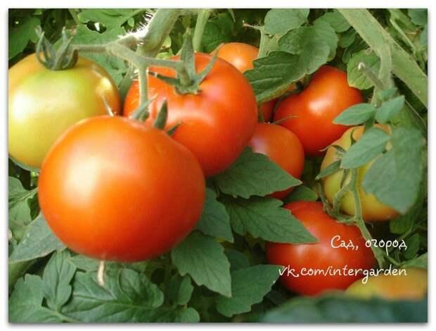 Чего не хватает томатам?