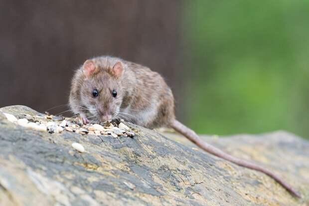 Администрация Петрозаводска предлагает горожанам помочь в уничтожении крыс