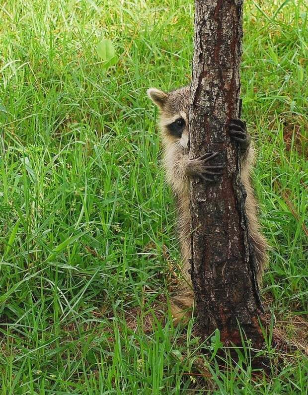8 милых фото, которые доказывают, что еноты — это новые котики