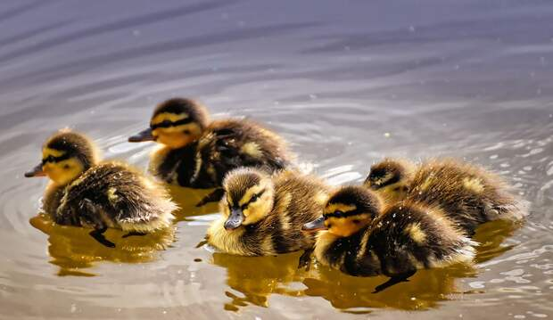 Утиная семья отправилась на водную прогулку по Лазоревому пруду