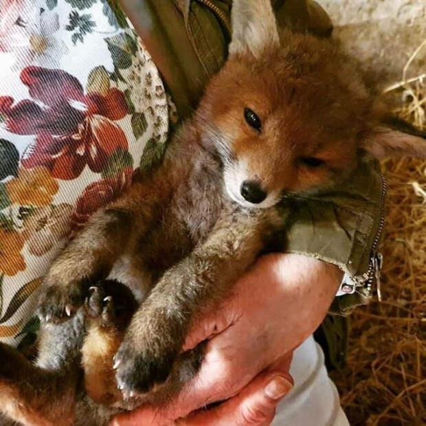 Очаровательные лисы