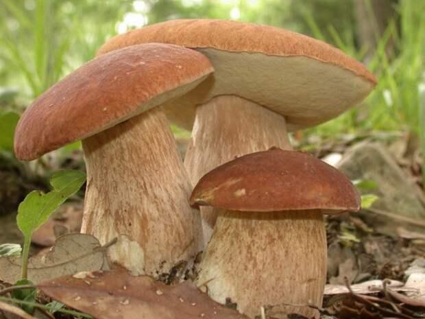 белые грибы в домашних условиях