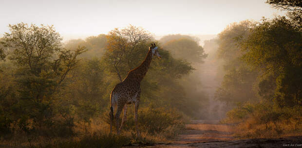 Giraffe in the morning by Lars La Cour  on 500px.com
