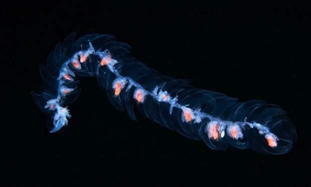 Видео: В чем сила глубоководных сифонофор — причудливых существ, которых стоит увидеть